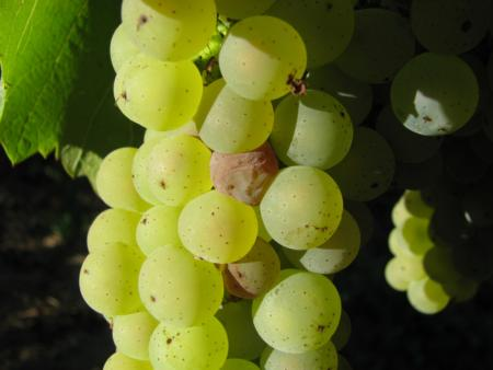 Onset of Botrytis disease in grapes; photo credit: University of California Cooperative Extension Sonoma County