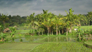 Indonesia_rice