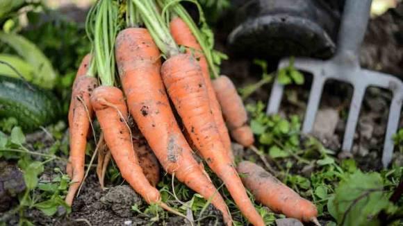 Carrots Farming UK