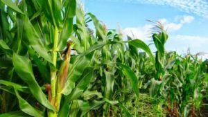 maize-crop-Africa