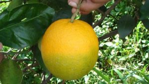 HLB-Citrus-Greening-Yellow-Dragon-Photo-Hilda-Gomez-USDA